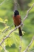 oriole_orchard_C8A2344
