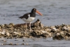 oystercatcher_american_C8A2089