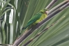 parakeet_green_E5I4134