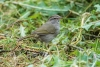 sparrow_olive_C8A3426