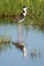 stilt_black-necked_C8A4145