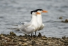 tern_royal_C8A2282