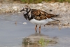 turnstone_ruddy_E5I3527