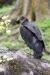 vulture_american-black_E5I4209