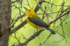 warbler_prothonotary_C8A2538