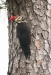 woodpecker_pileated_C8A5643