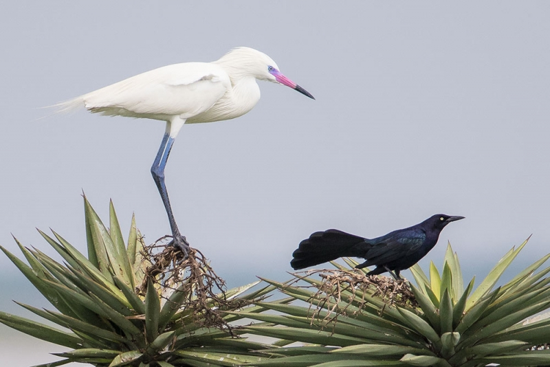 egret_reddish-white-morph-breeding_grackle_great-tailed_C8A2257