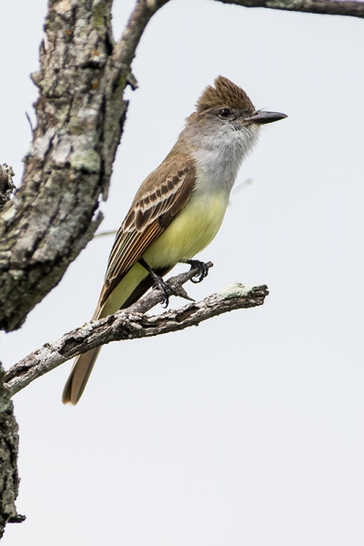 flycatcher_great-crested_C8A3114