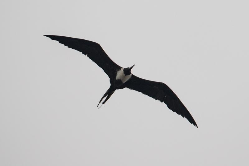 frigate-bird_C8A4814