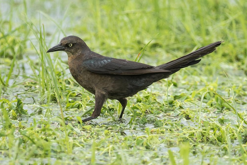 grackle_great-tailed_C8A1676