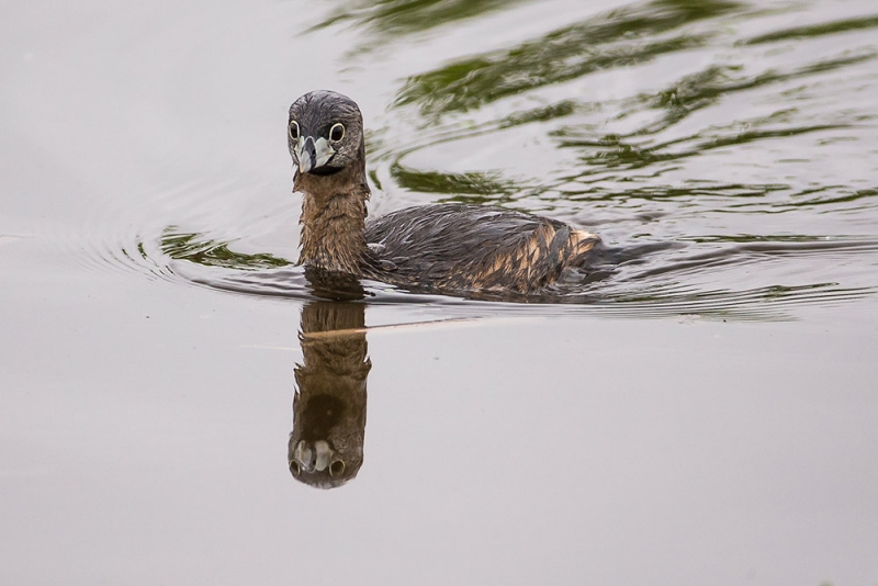grebe_pied-billed_E5I3639