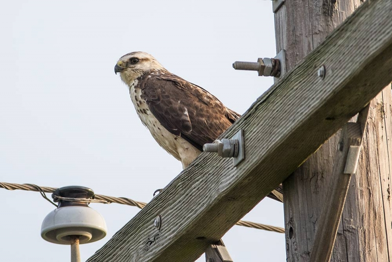 hawk_gray-juv-1st year_C8A3083