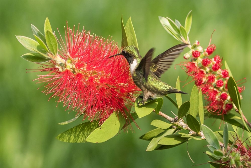 hummingbird_black-chinned_C8A2816