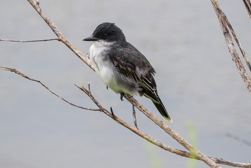 kingbird_eastern_C8A3657
