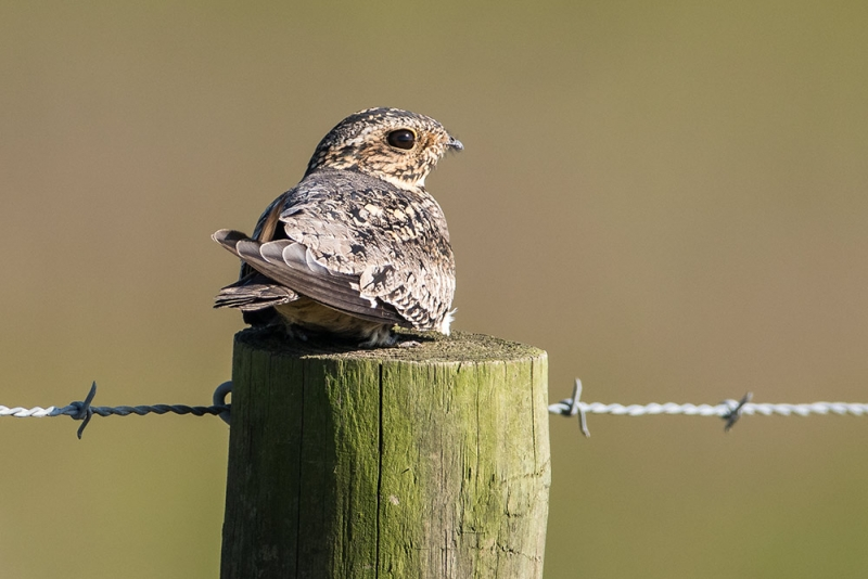 nighthawk_common_C8A4098