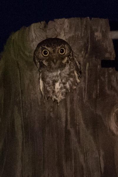 owl_elf_C8A3295