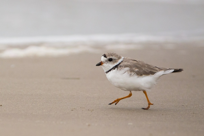 plover_piping_E5I4013