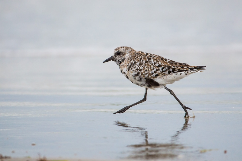 plover black-bellied_E5I3999