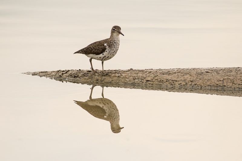 sandpiper_spotted_C8A2914