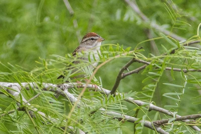 sparrow_C8A2952