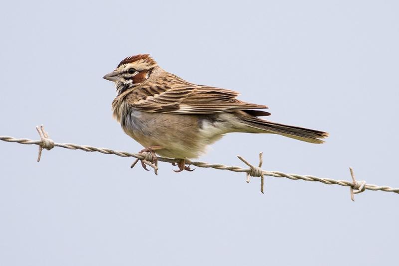 sparrow_lark_C8A3326