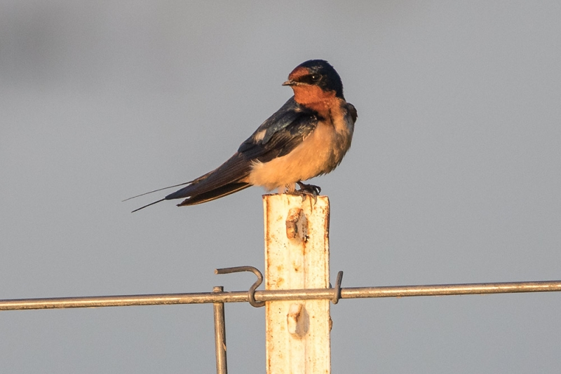 swallow_barn_C8A4303