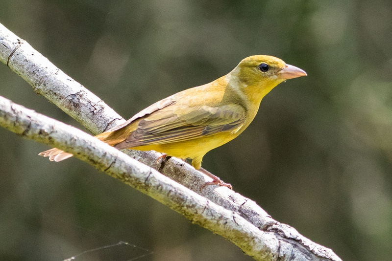 tanager_summer_C8A2604