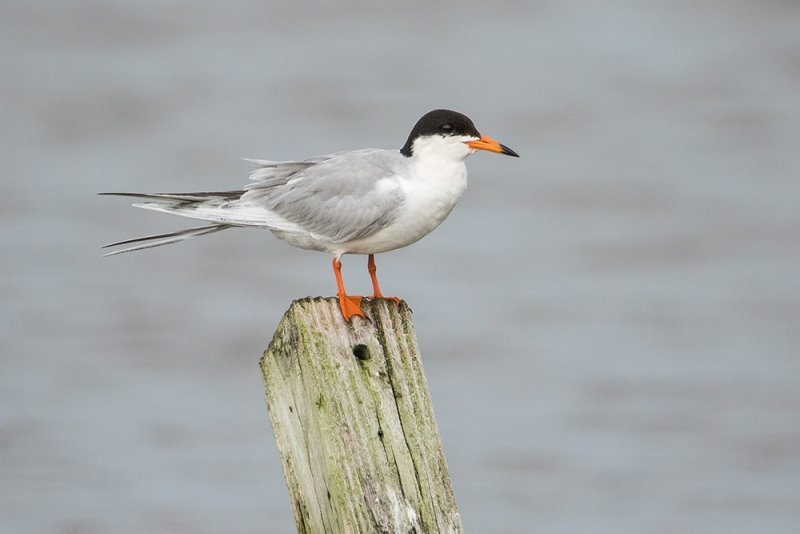 tern_forsters_C8A1426