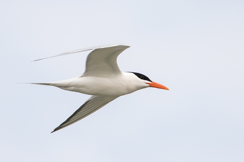 tern_royal_C8A2299