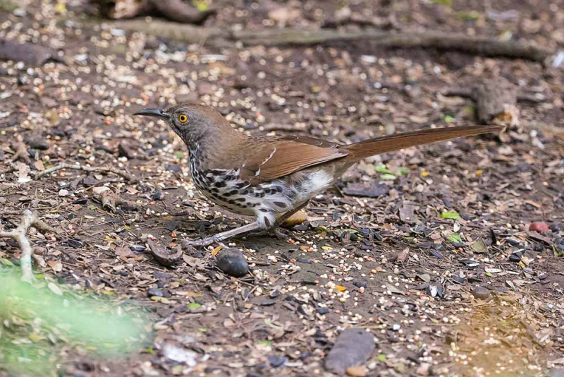 thrasher_long-billed_E5I4064
