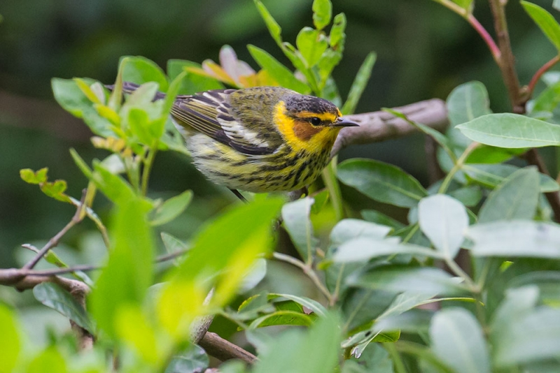 warbler_cape-may_E5I3740
