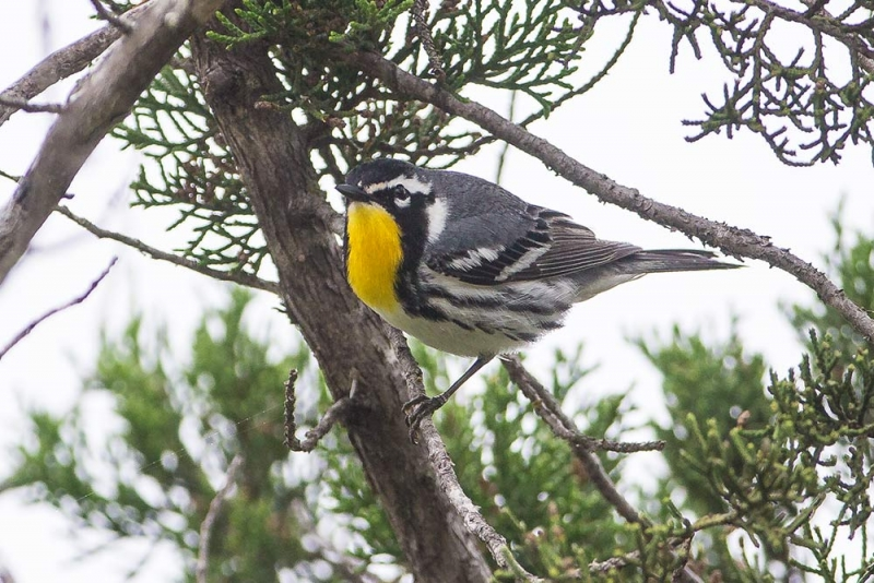 warbler_yellow-throated_E5I4276