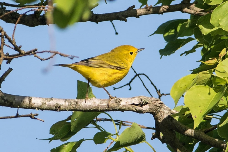 warbler_yellow_C8A4122