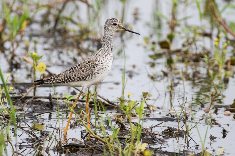 yellowlegs_lesser_C8A3519