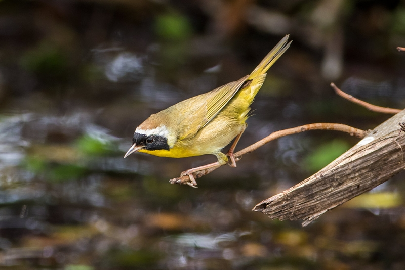 yellowthroat_common_C8A2411