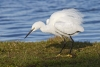 egret_little_mg_9490