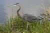 heron_great-blue_1607