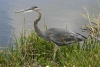 heron_great-blue_1607