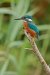 kingfisher_mg_5720