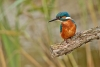 kingfisher_mg_6049