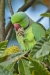 parakeet_ring-necked_a4a9750