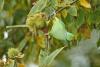 parakeet_ring-necked_a4a2071