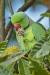 parakeet_ring-necked_a4a9750
