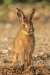 hare_leveret_mg_5105