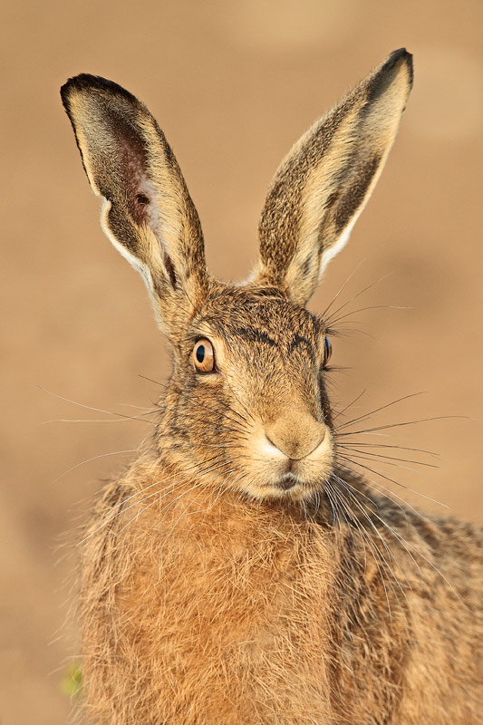 Portrait Of A Hare Wonders Of Wildlife