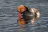 pochard_red-crested_a4a0122