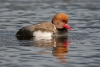 pochard_red-crested_a4a0080