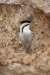 nuthatch_rock-western_07325a