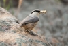 nuthatch_rock-western_11931a