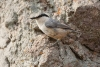 nuthatch_rock-western_12330a